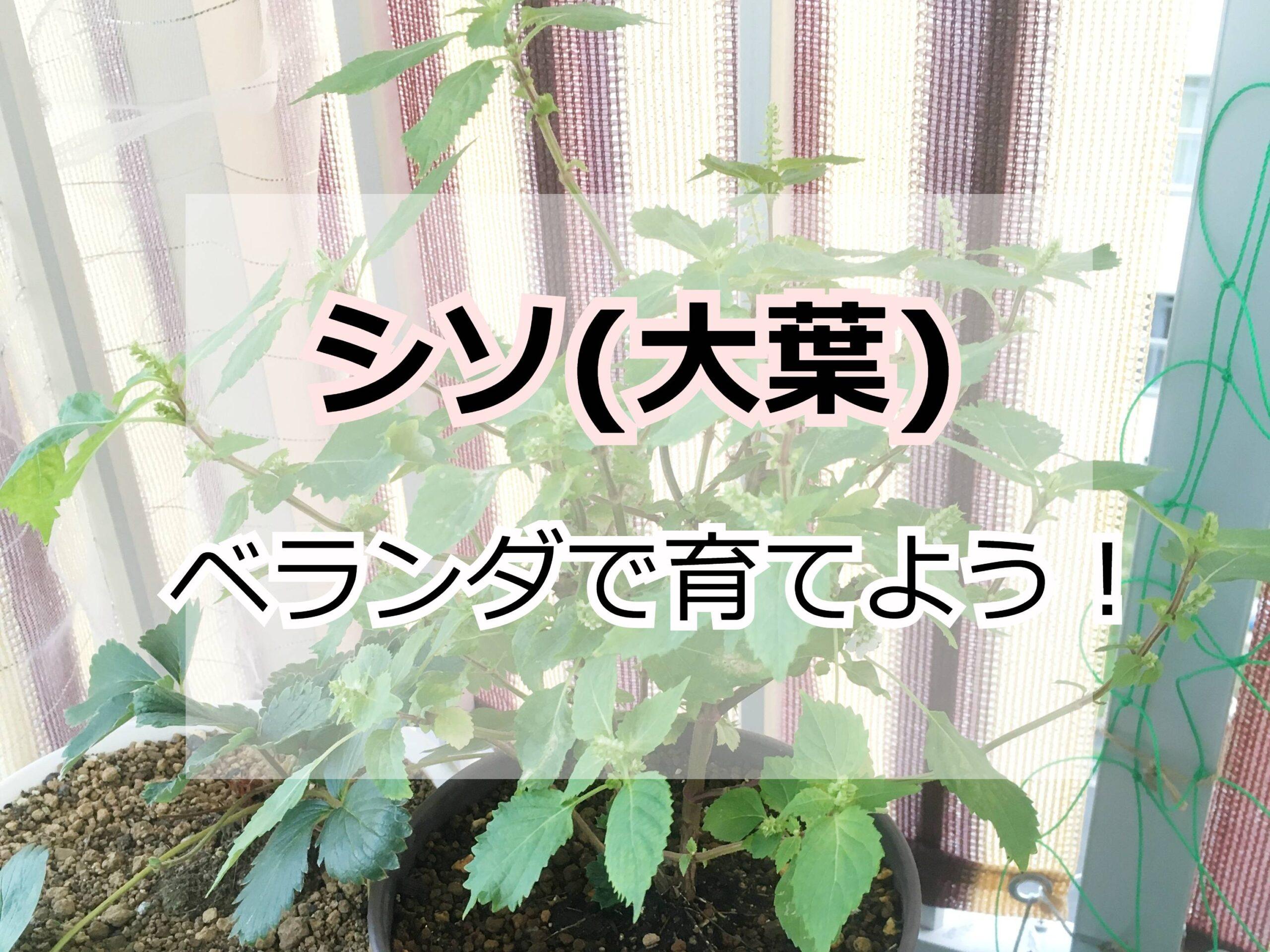 鉢植えのシソ