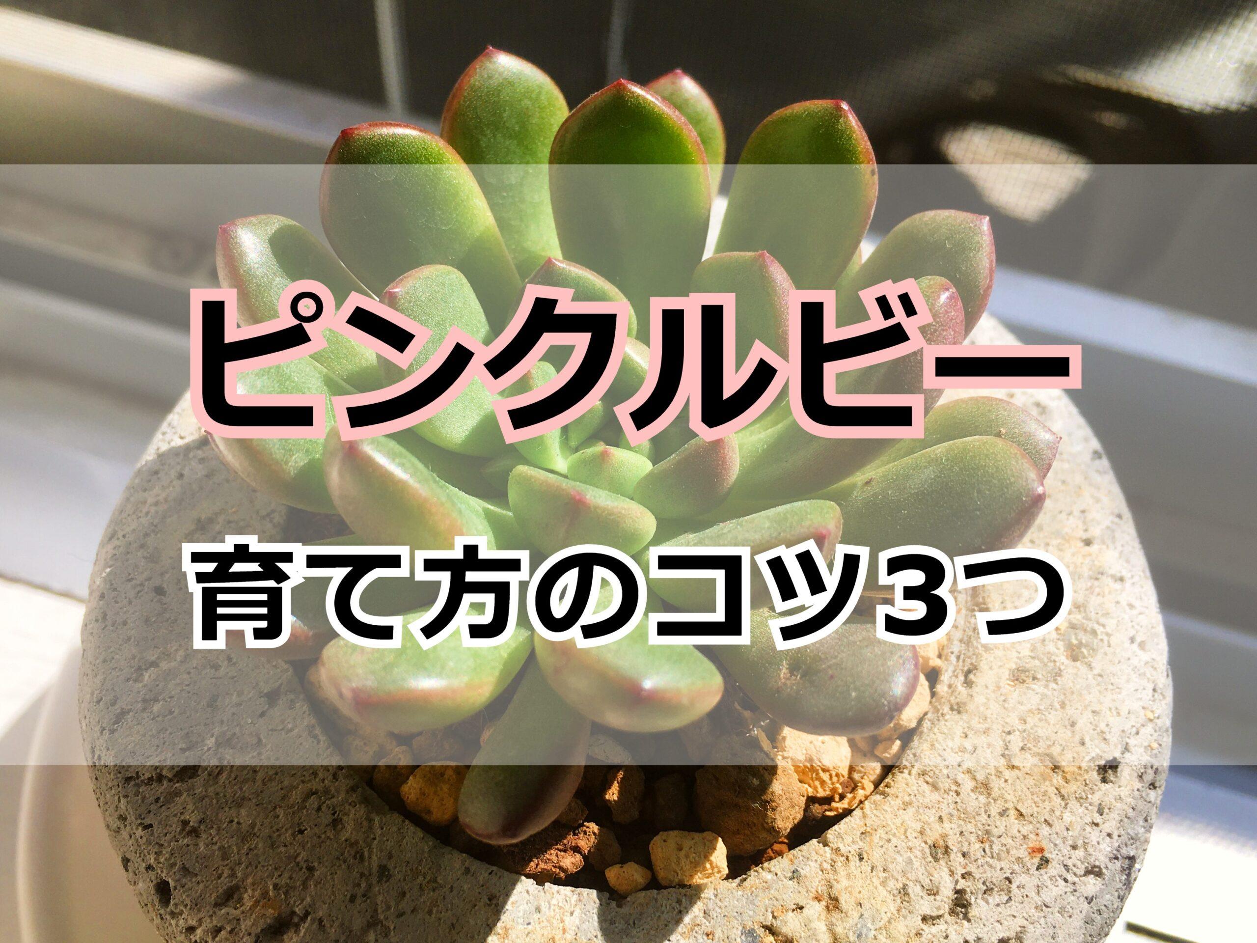 多肉植物・ピンクルビー