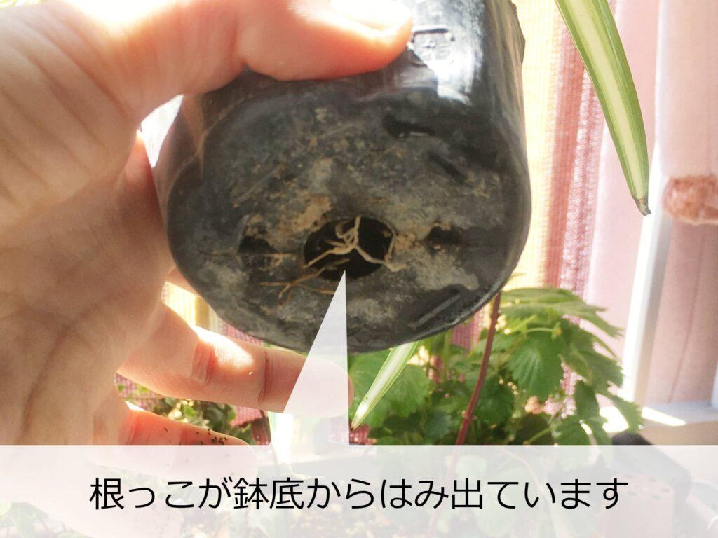鉢底からはみ出たオリヅルランの根っこ