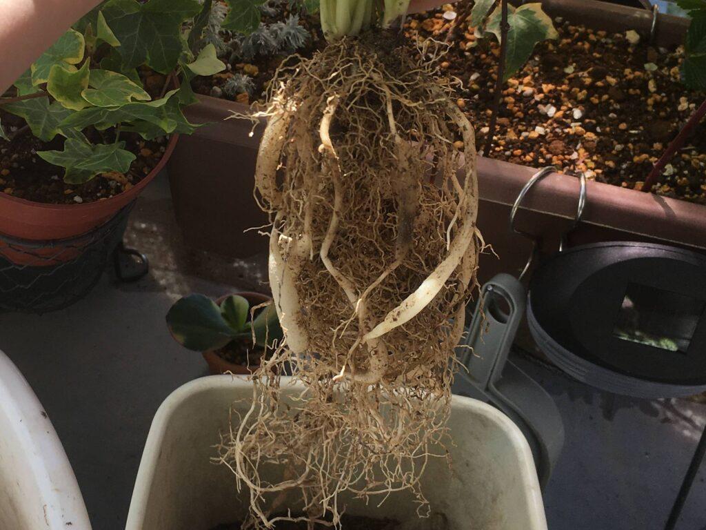 ほぐした根鉢