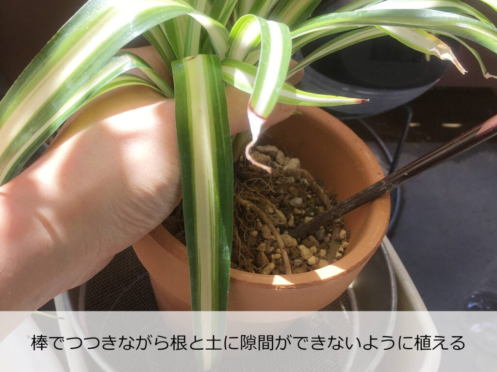 オリヅルランの植え替え中
