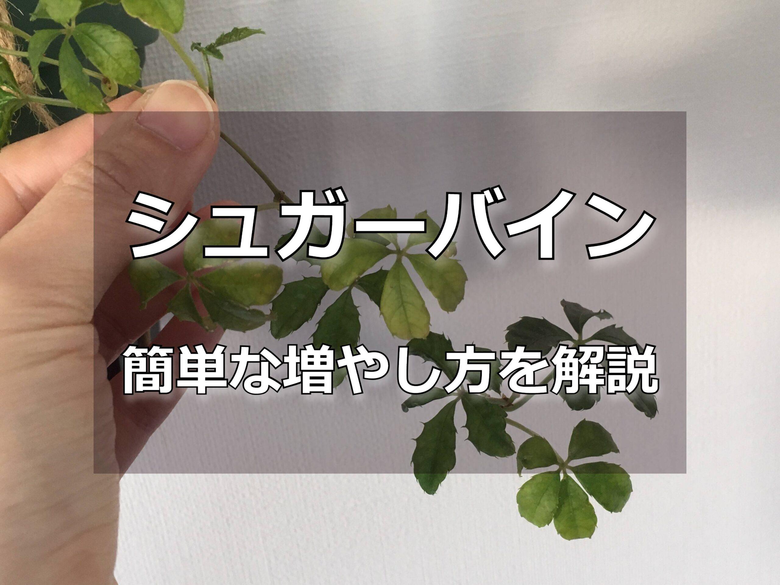 シュガーバインの葉っぱ