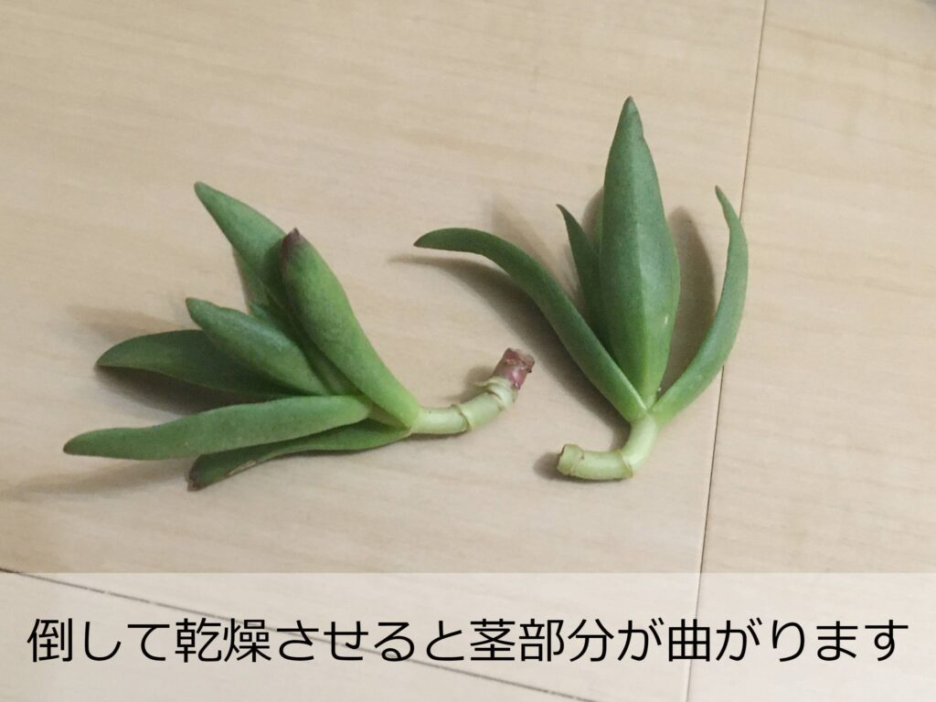 茎が曲がった火祭りの挿し穂