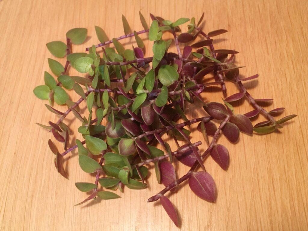 剪定で出たカリシアの茎