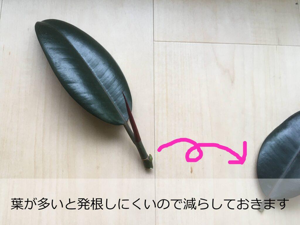 ゴムの木の挿し穂の調整