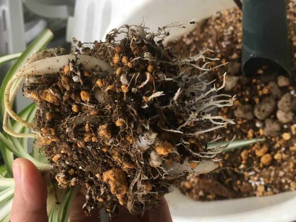 オリヅルラン植え替え