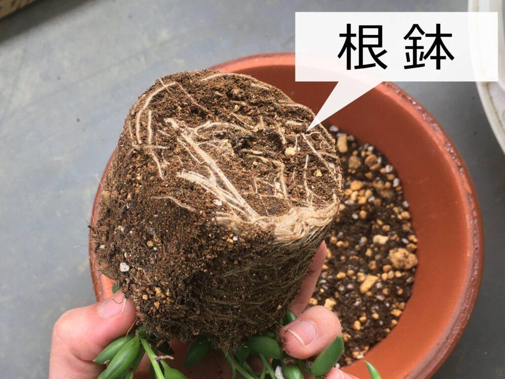 崩す前の根鉢