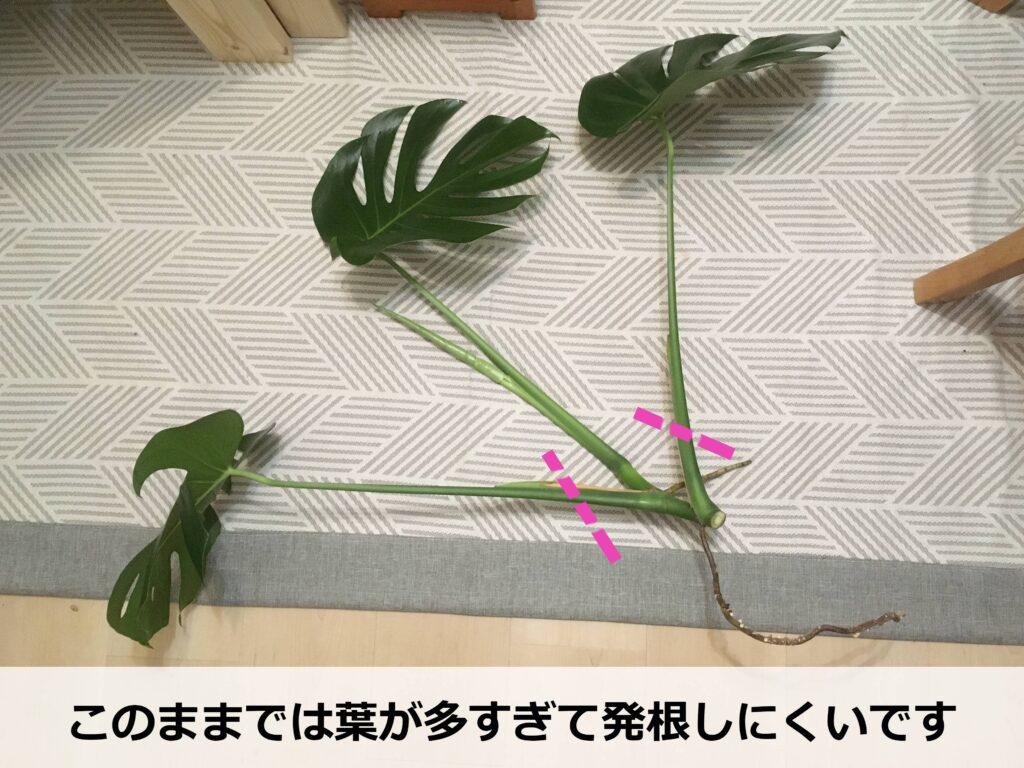 剪定で出たモンステラの茎