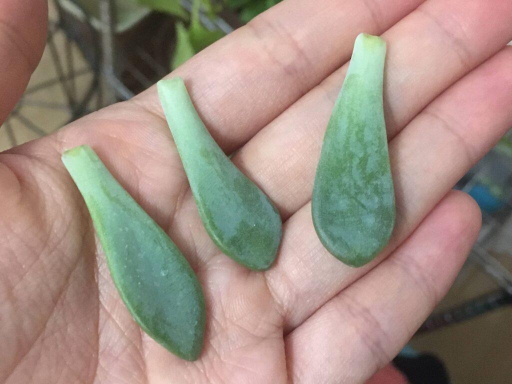 パキフィツムの葉