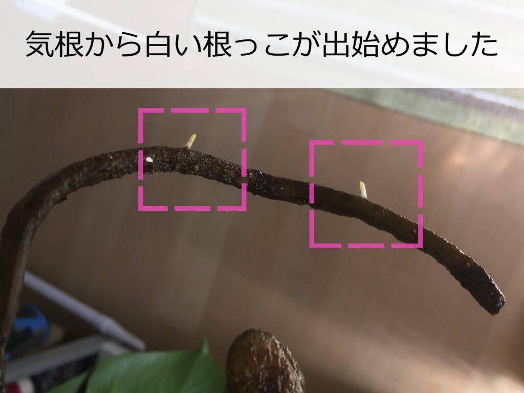 モンステラの気根から出た新しい根っこ