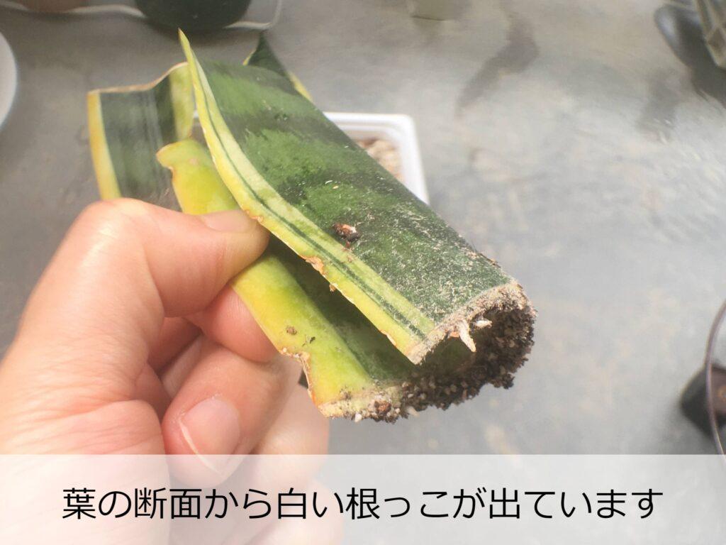 発根したサンスベリアの葉