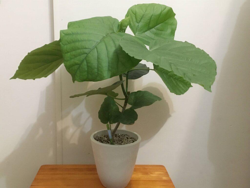 ゴムの木「フィカスウンベラータ」
