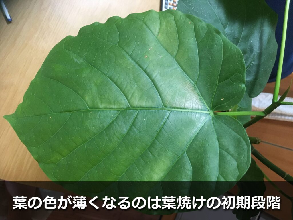 葉焼けにより薄くなったウンベラータの葉っぱ