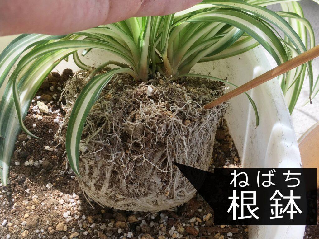 オリヅルランの根鉢