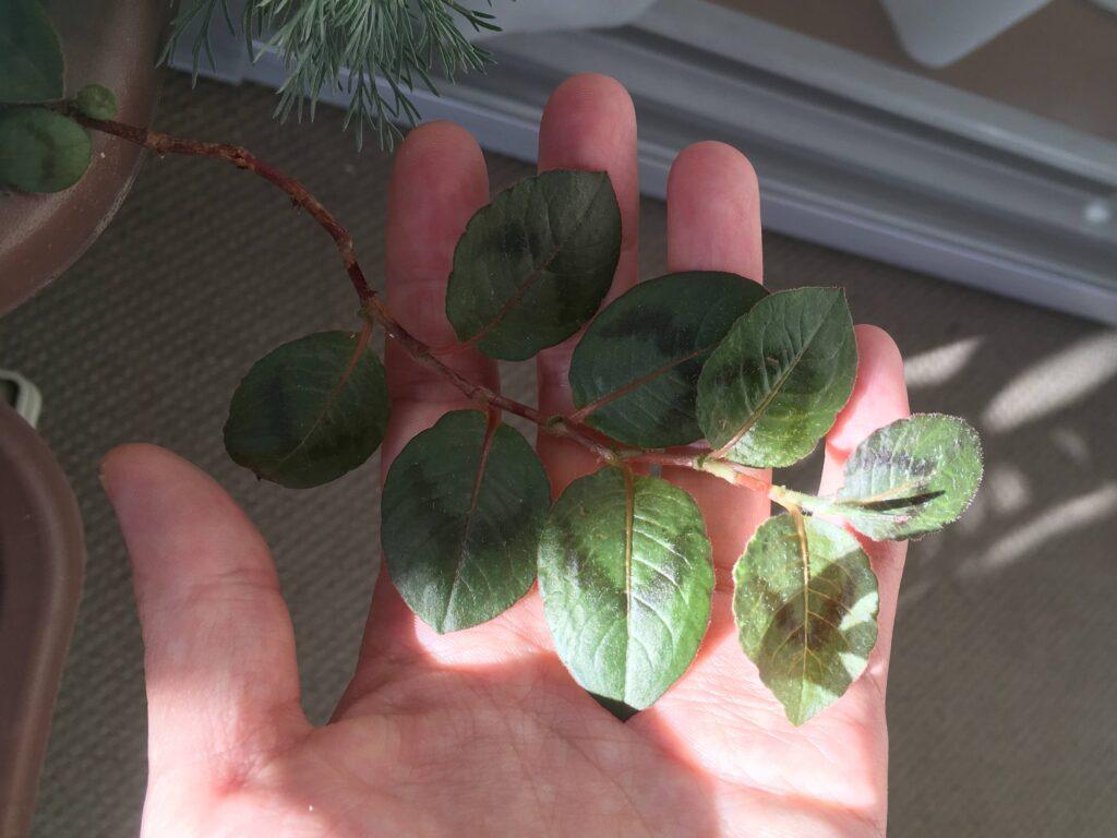 ヒメツルソバの葉