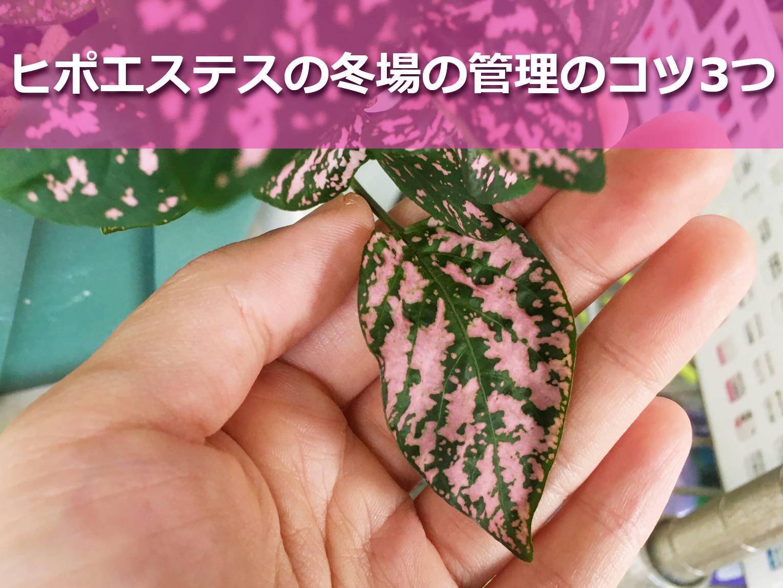 ヒポエステスの葉っぱ