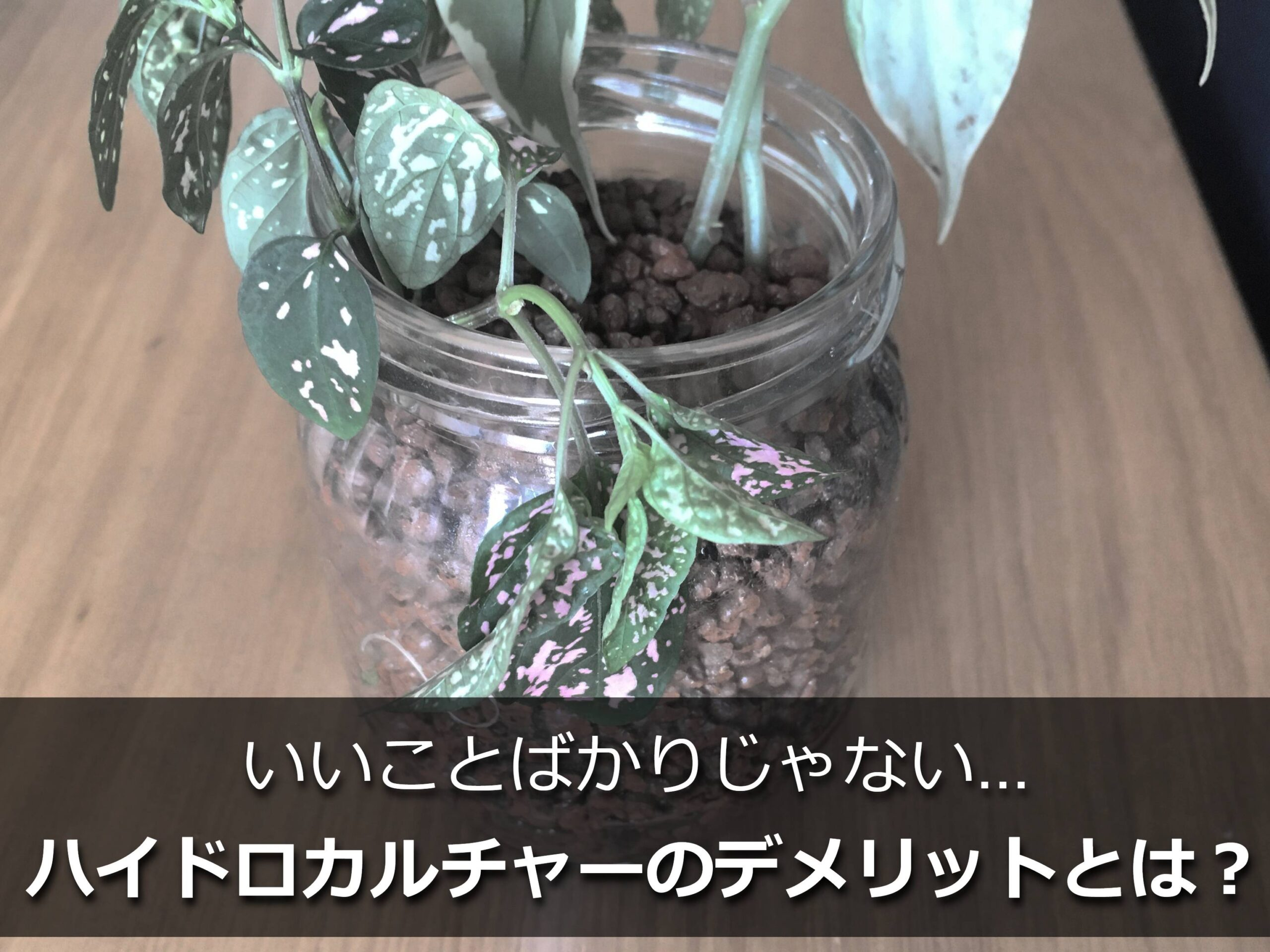 しおれたハイドロカルチャーの植物