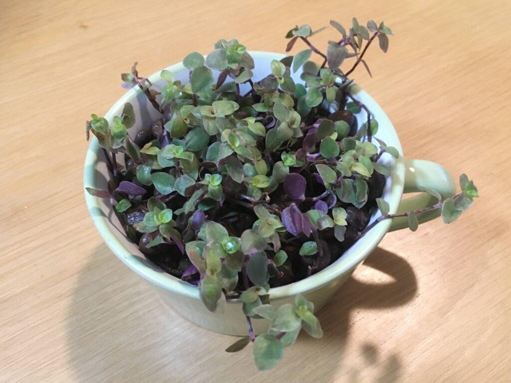 100均のハイドロボールに植え付けたカリシアの挿し芽