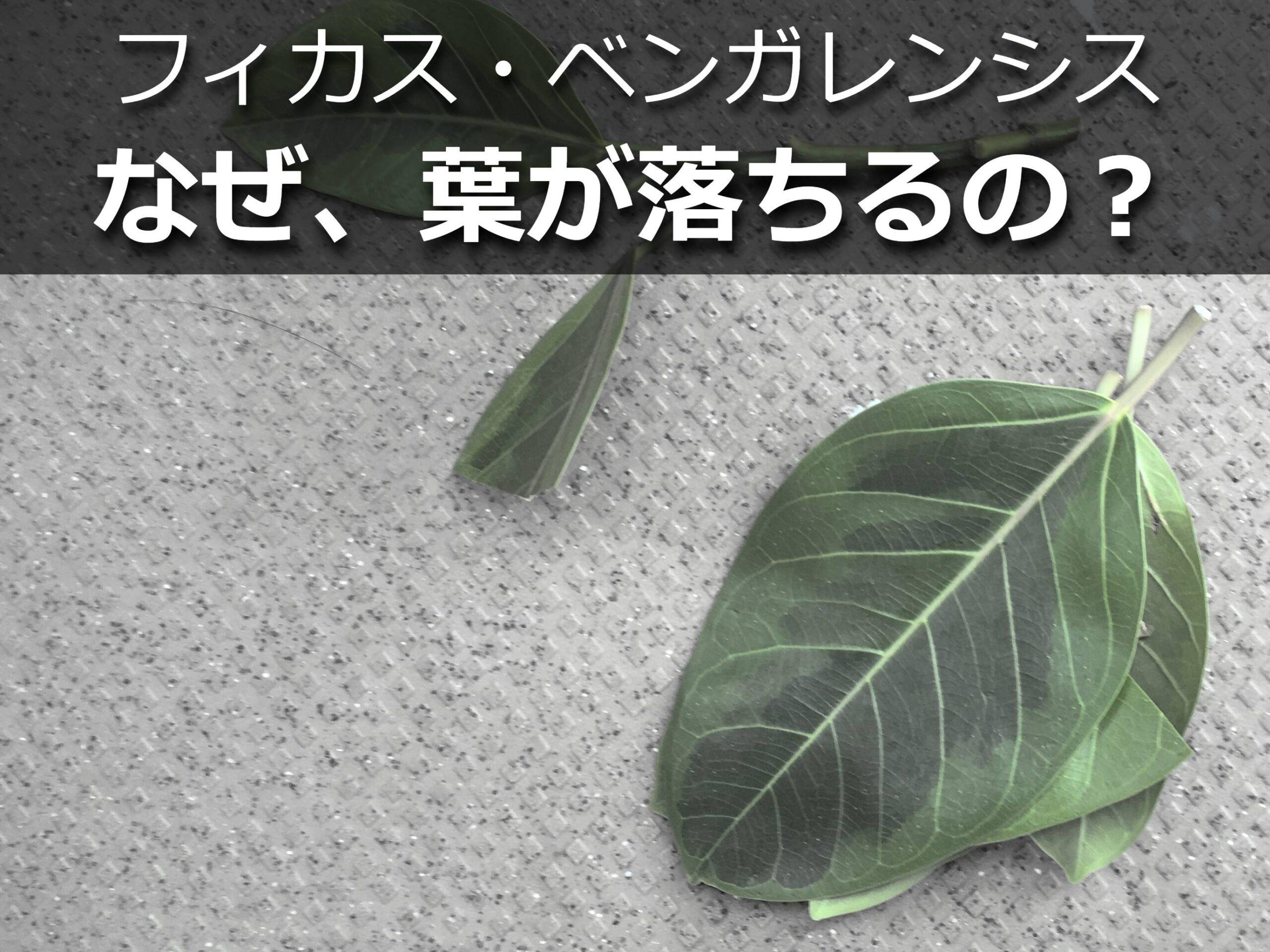 ベンガレンシスの葉っぱ