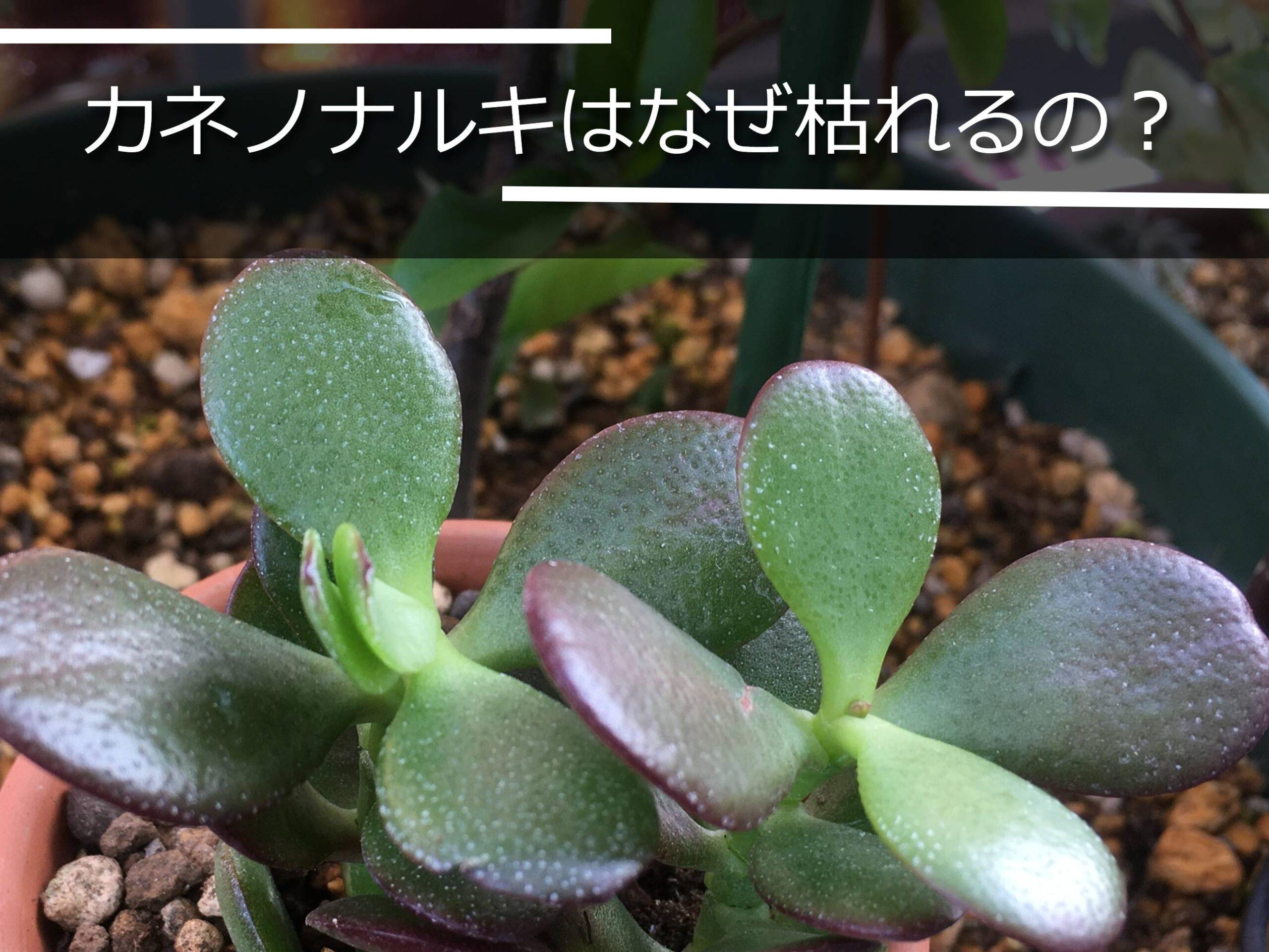 カネノナルキの葉