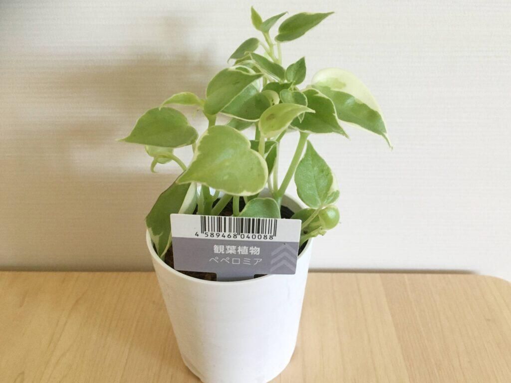 100均の観葉植物