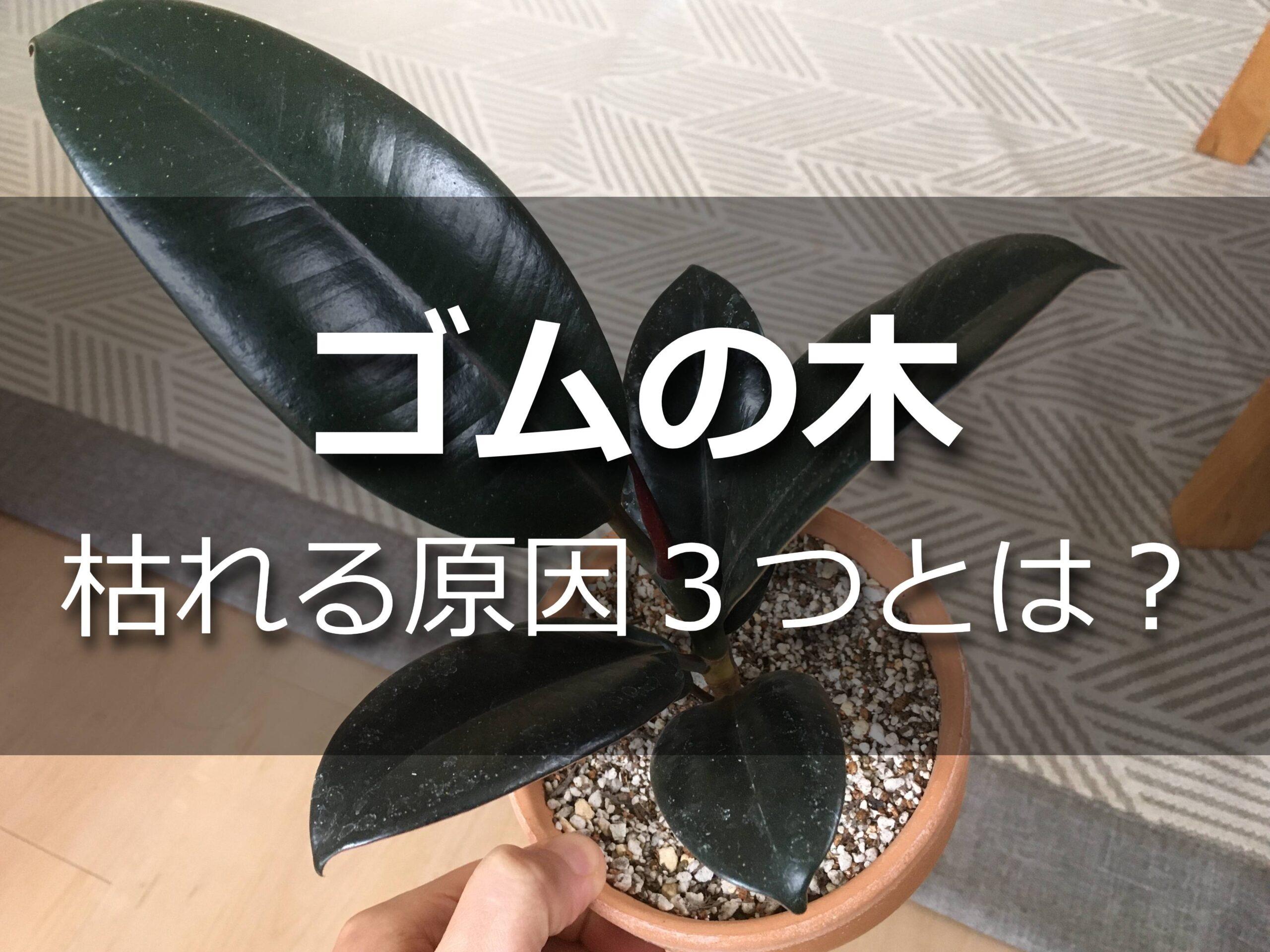 ゴムの木の鉢植え