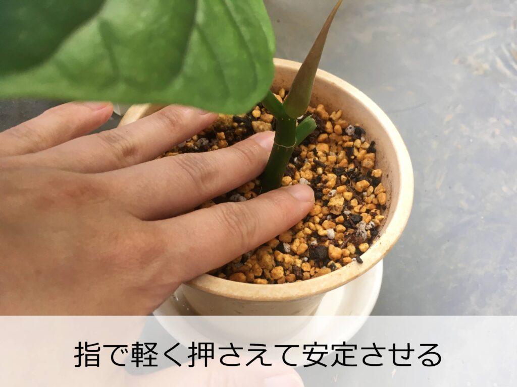 ウンベラータの挿し穂を植え付け