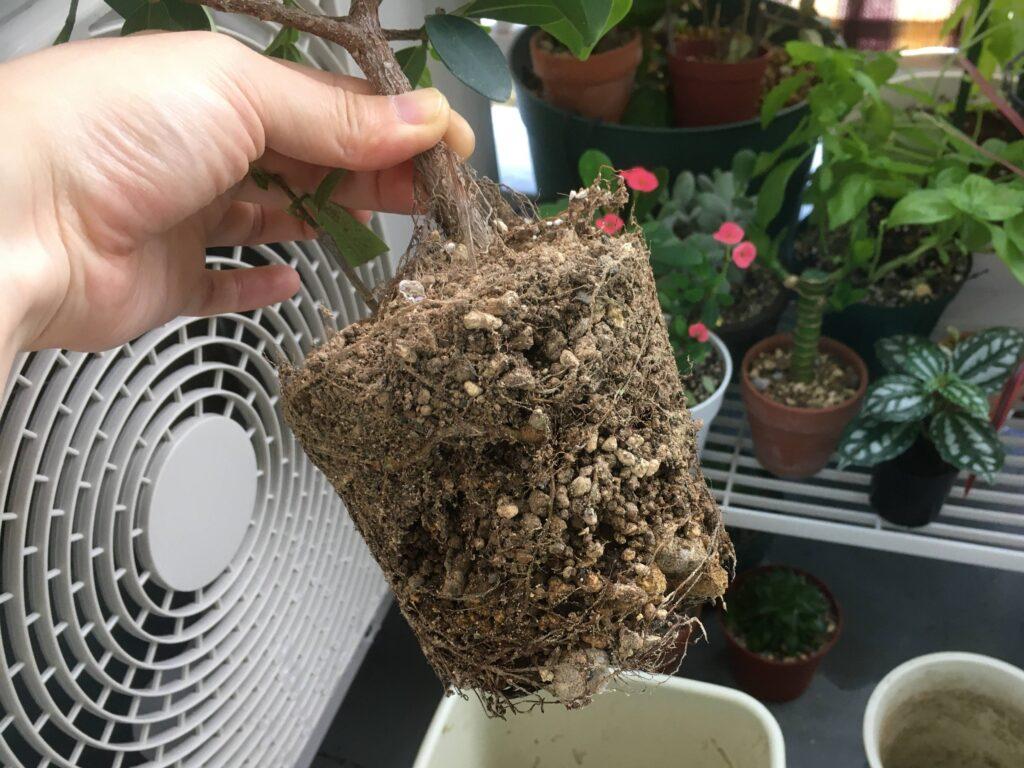 ガジュマルの根鉢