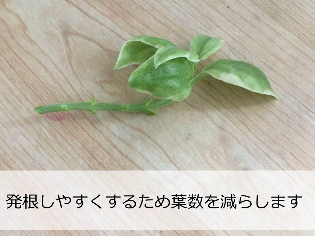 葉数を減らしたベビーサンローズの挿し穂