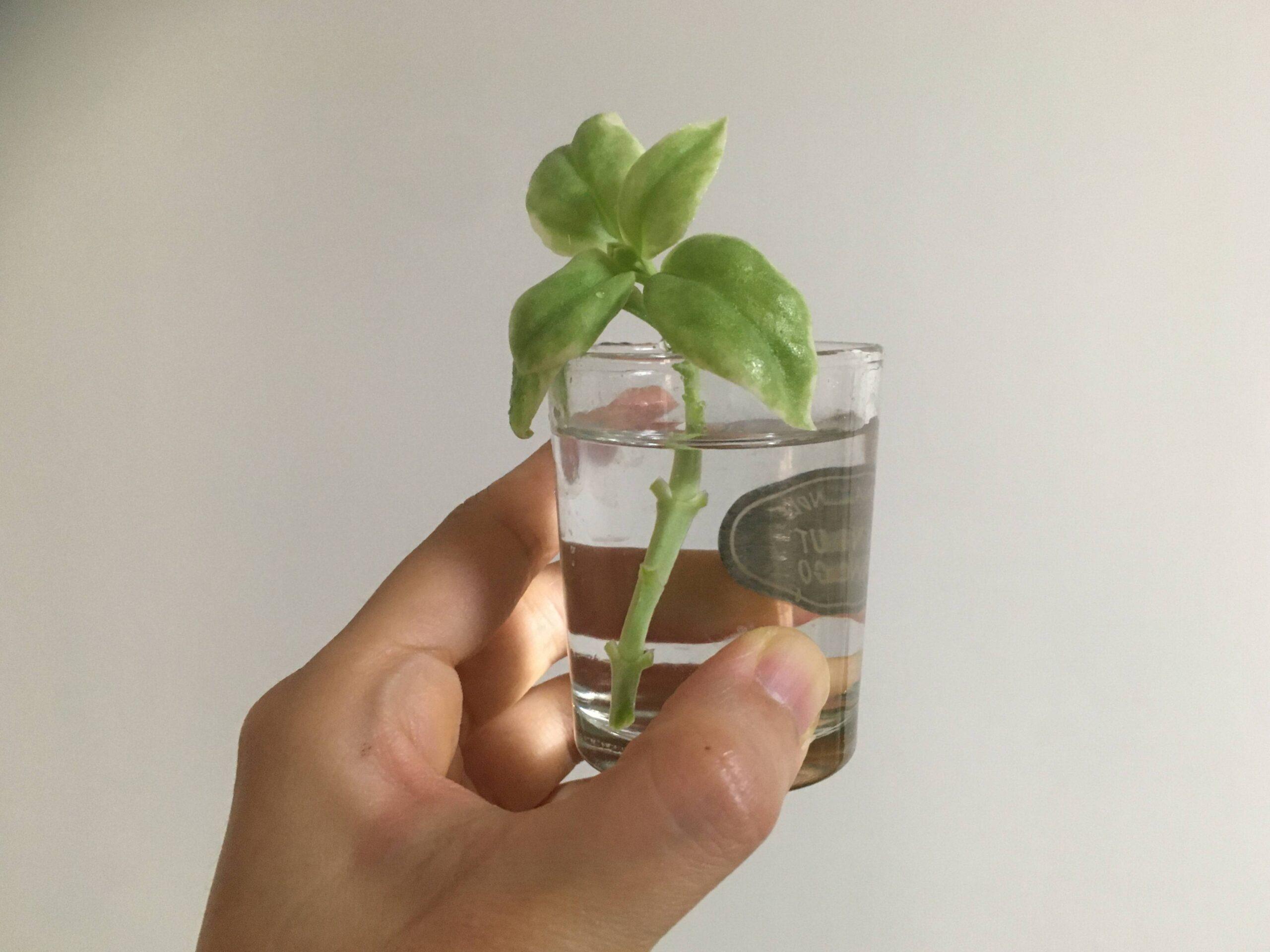 ベビーサンローズの水栽培