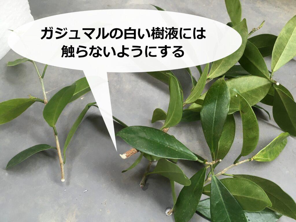 ガジュマルの切り口からにじみ出る白い樹液