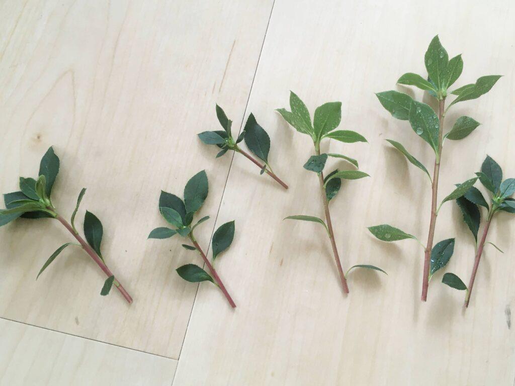 ドウダンツツジの枝