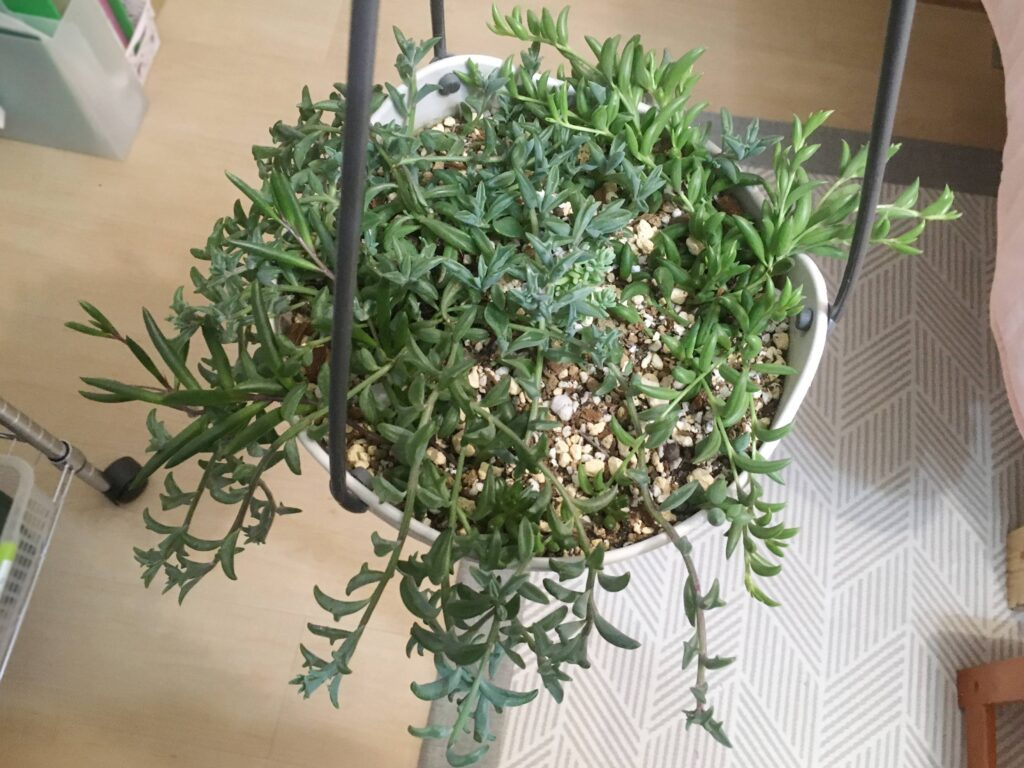 植え付けから2か月経過したドルフィンネックレス