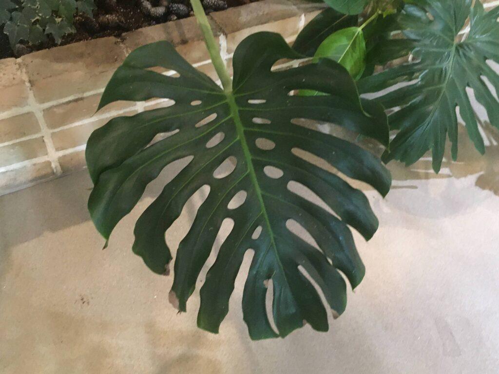 割れ目の立派なモンステラの葉