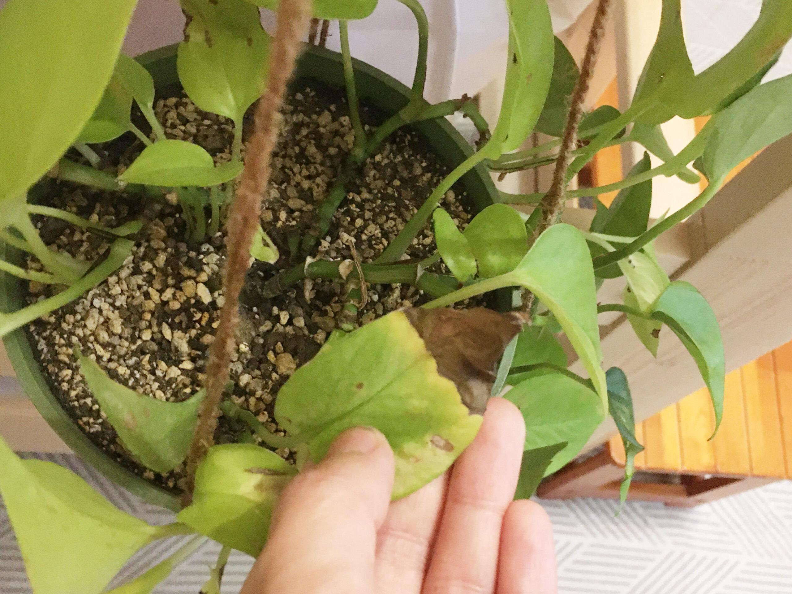 茶色くなったポトスの葉