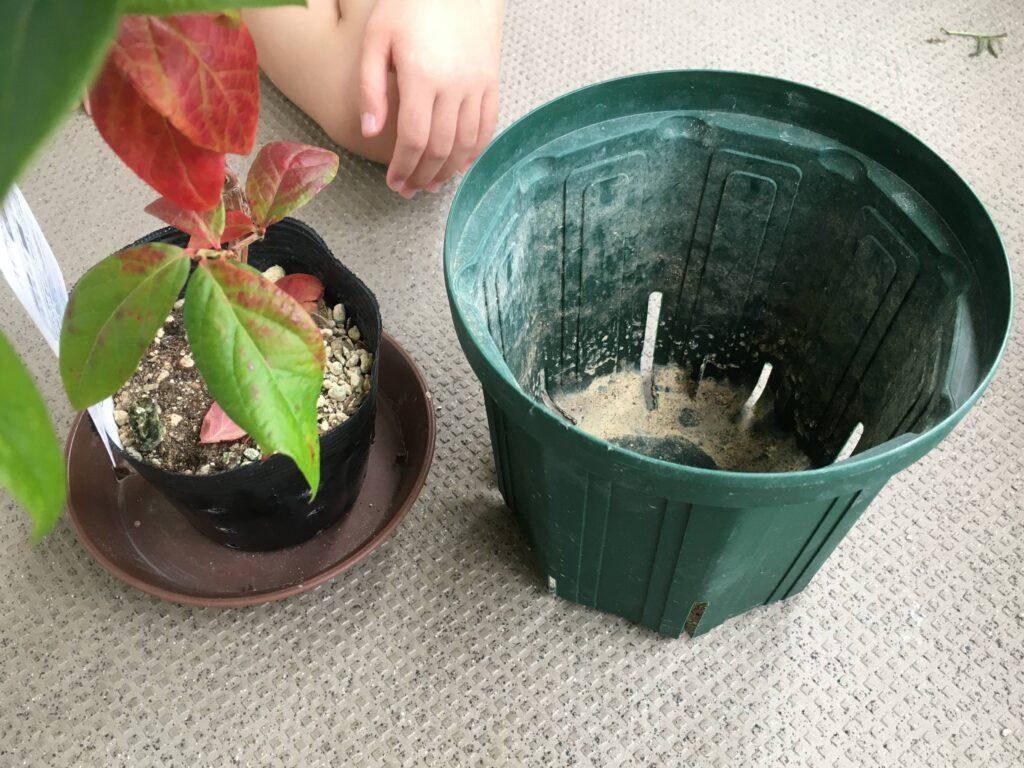 ブルーベリーの苗と鉢植え