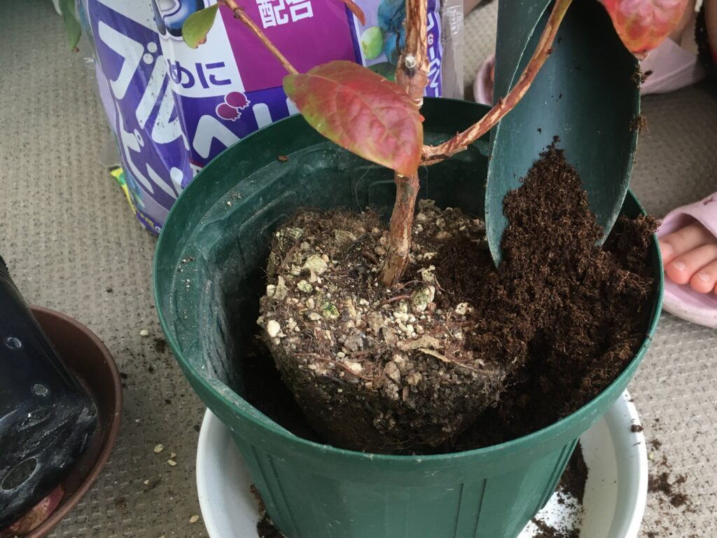 ブルーベリーの苗を植え付ける