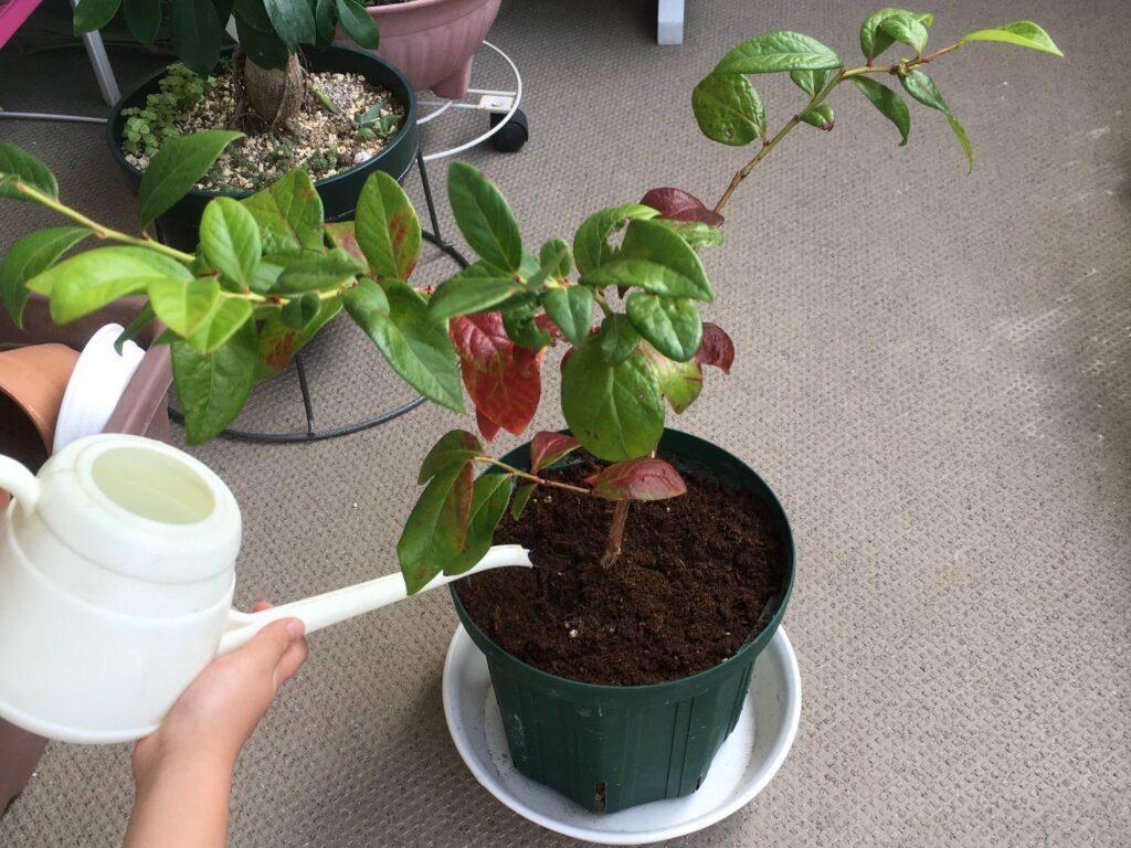 ブルーベリーの植え付け完了