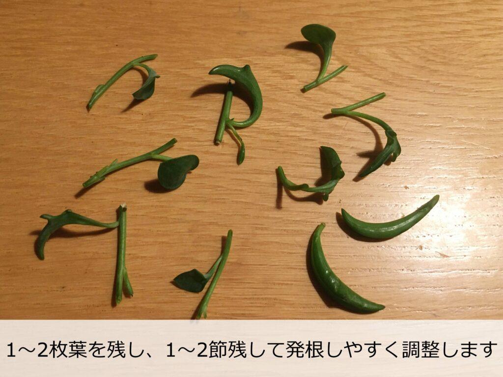 葉数を減らしたドルフィンネックレスの挿し穂