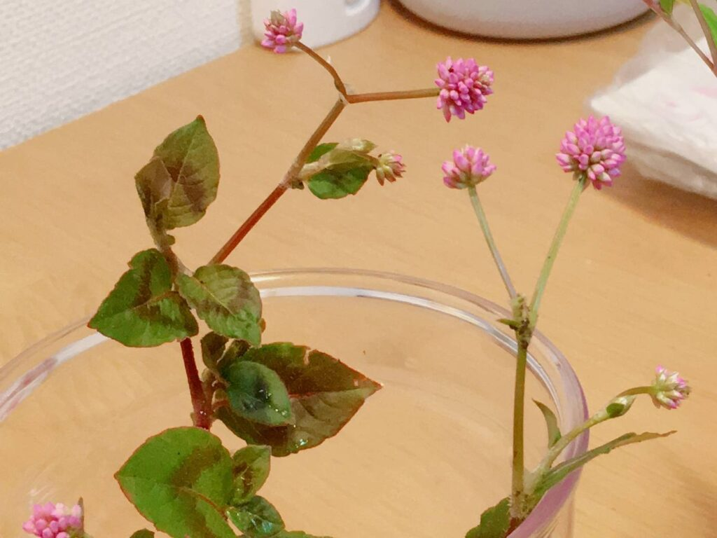 金平糖のような花がかわいいヒメツルソバ