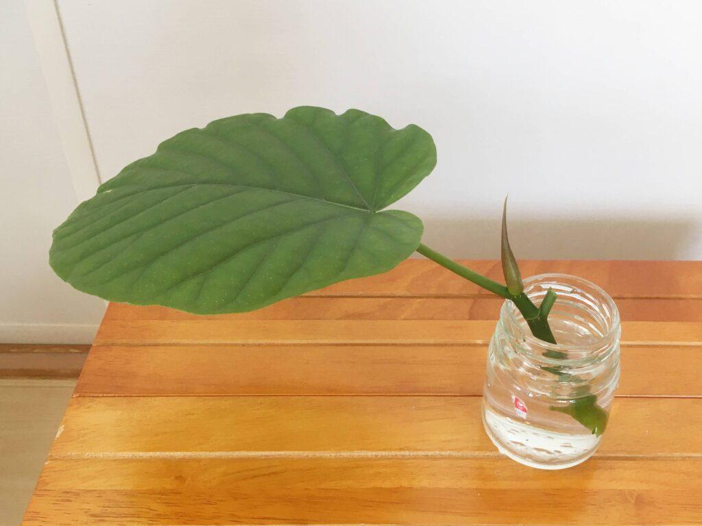 ウンベラータの茎