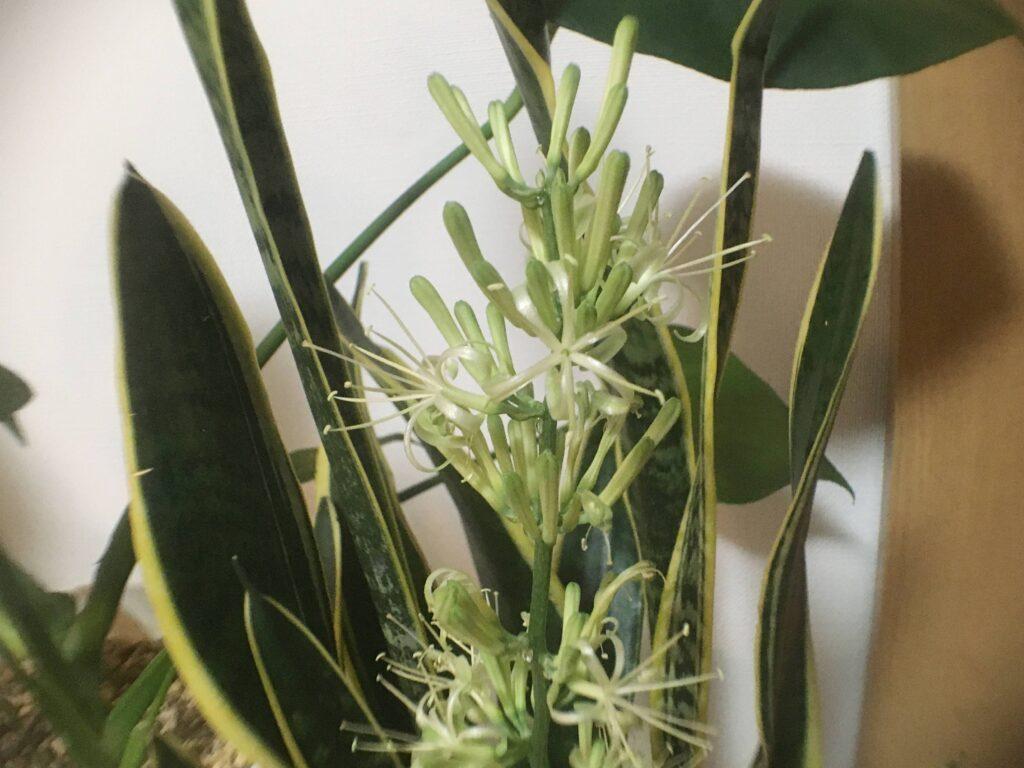 甘い香りが漂うサンスベリアの花
