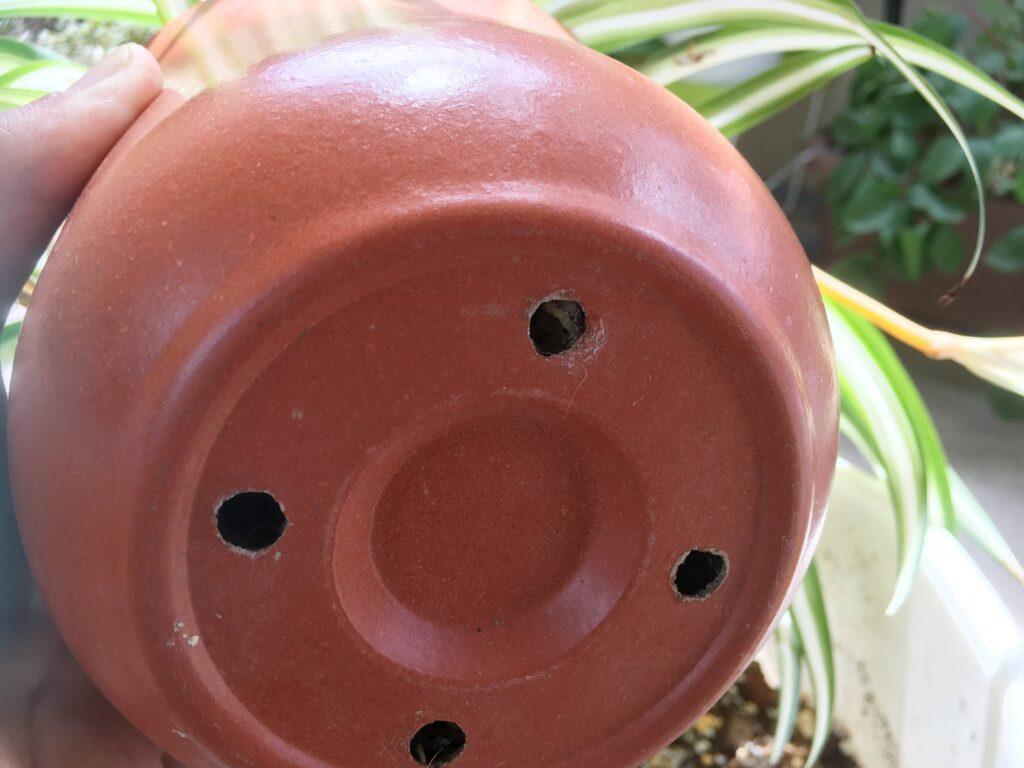 オリヅルランの鉢底