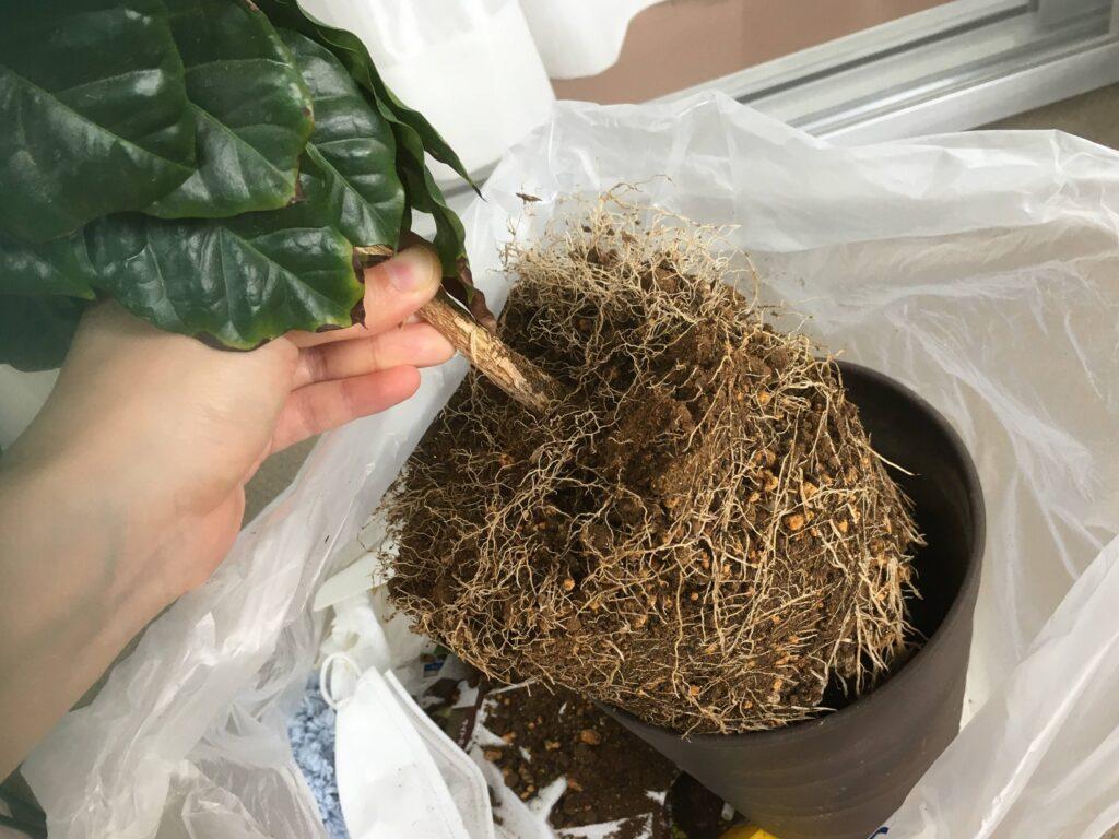 コーヒーの木の根鉢