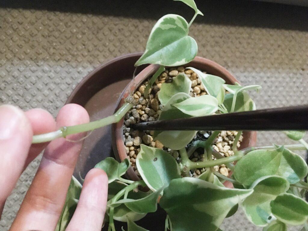 水差しで発根させた茎を元の鉢に植え付ける