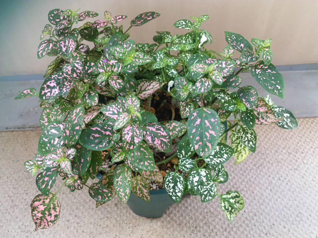 花の付いたヒポエステスの鉢植え