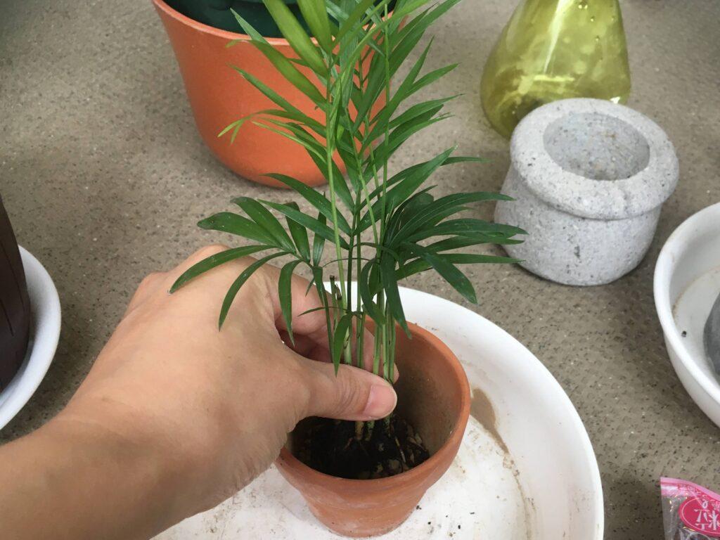 テーブルヤシを新しい鉢植えに配置