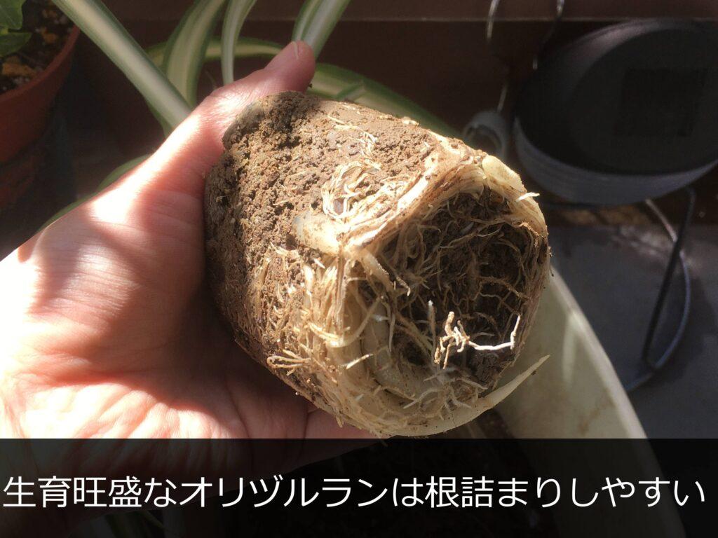 根詰まりしたオリヅルランの根鉢
