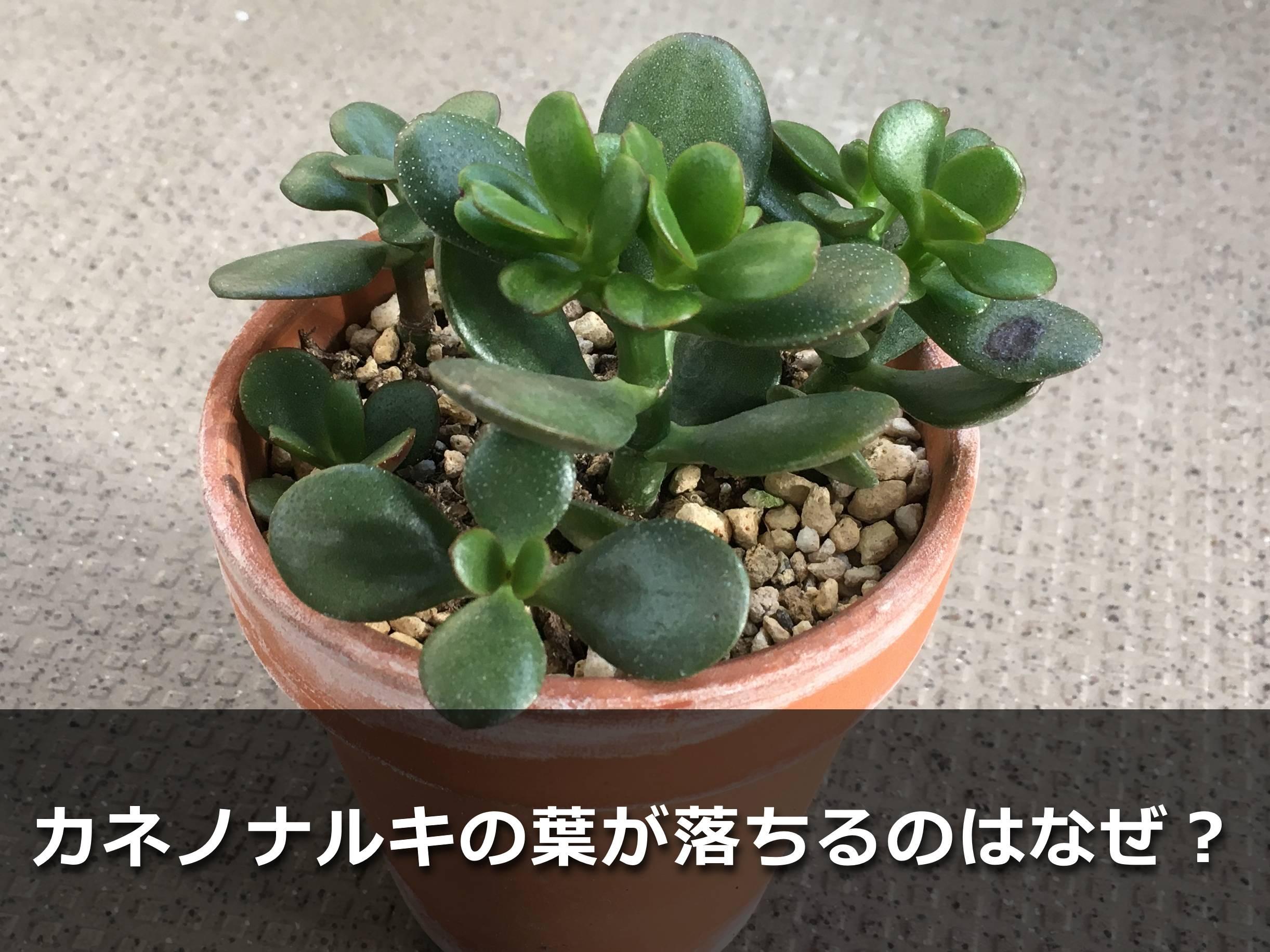 カネノナルキ(花月)