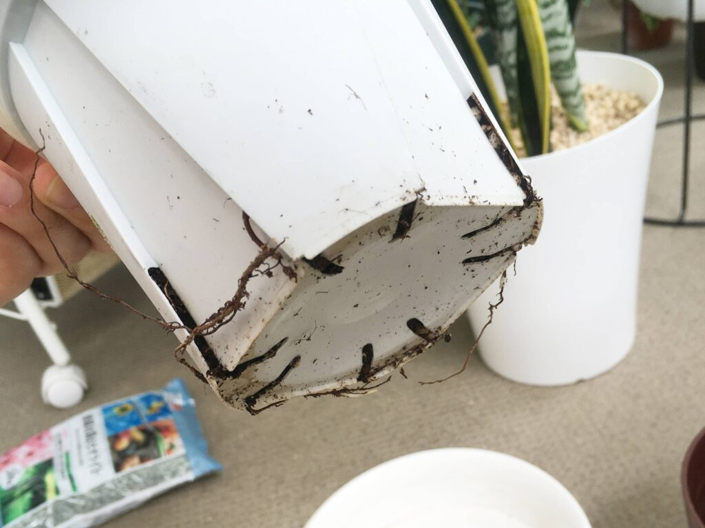 根詰まりしたベンガレンシスの鉢底からはみ出た根っこ
